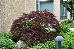 Red Dragon Japanese Maple (Acer palmatum 'Red Dragon') at Seoane's Garden Center