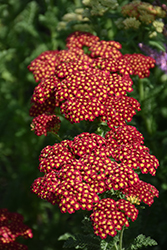 Strawberry Seduction Yarrow (Achillea millefolium 'Strawberry Seduction') at Seoane's Garden Center
