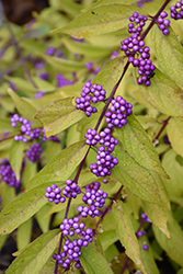 Early Amethyst Beautyberry (Callicarpa dichotoma 'Early Amethyst') at Seoane's Garden Center
