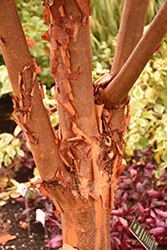 Paperbark Maple (Acer griseum) at Seoane's Garden Center