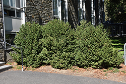 Green Mountain Boxwood (Buxus 'Green Mountain') at Seoane's Garden Center