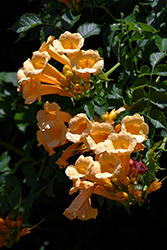 Yellow Trumpetvine (Campsis radicans 'Flava') at Seoane's Garden Center