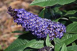 Pugster® Blue Butterfly Bush (Buddleia 'SMNBDBT') at Seoane's Garden Center