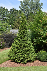 Soft Serve® Falsecypress (Chamaecyparis pisifera 'Dow Whiting') at Seoane's Garden Center
