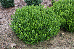 Sprinter® Boxwood (Buxus microphylla 'Bulthouse') at Seoane's Garden Center
