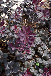 Winecraft Black® Smokebush (Cotinus coggygria 'NCCO1') at Seoane's Garden Center