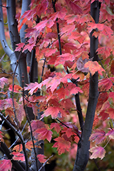 Autumn Spire Red Maple (Acer rubrum 'Autumn Spire') at Seoane's Garden Center