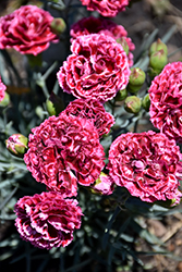 Fruit Punch® Cherry Vanilla Pinks (Dianthus 'Cherry Vanilla') at Seoane's Garden Center